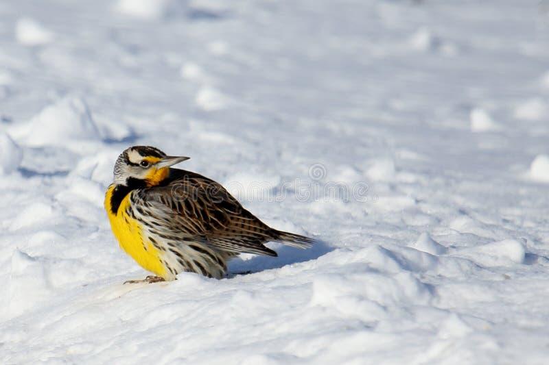 Östligt Meadowlark anseende på snö royaltyfri fotografi