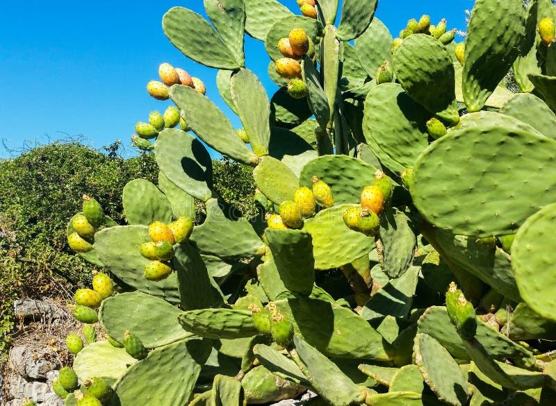 Download Över Grova Spikarna Under Sötsaken Och Den Suckulenta Frukten Fotografering för Bildbyråer - Bild av leaves, södra: 76700765