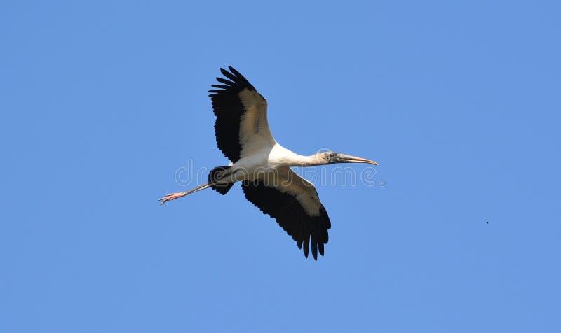 Över huvudet flyg för Wood stork arkivbild