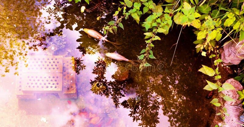 Över huvudet sikt av ett utomhus- guldfiskdamm royaltyfria foton