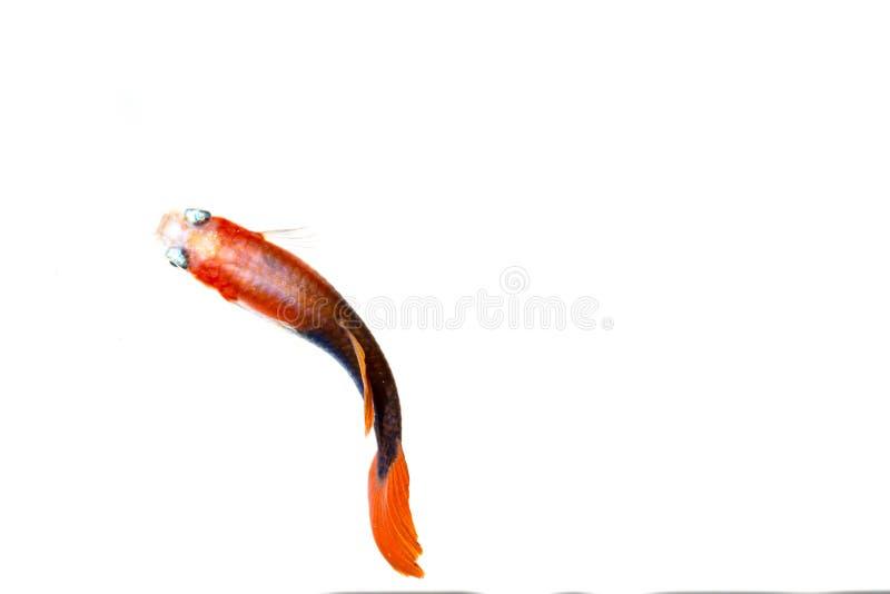 Över huvudet skott för Guppyfisk royaltyfria bilder
