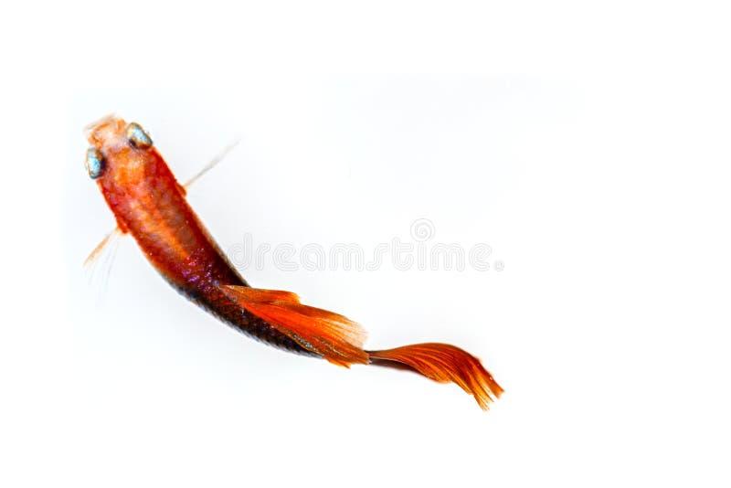 Över huvudet skott för Guppyfisk royaltyfria foton