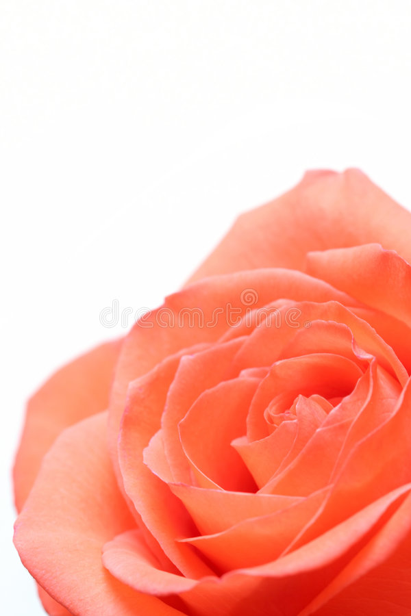 över pinkrosewhite royaltyfri foto