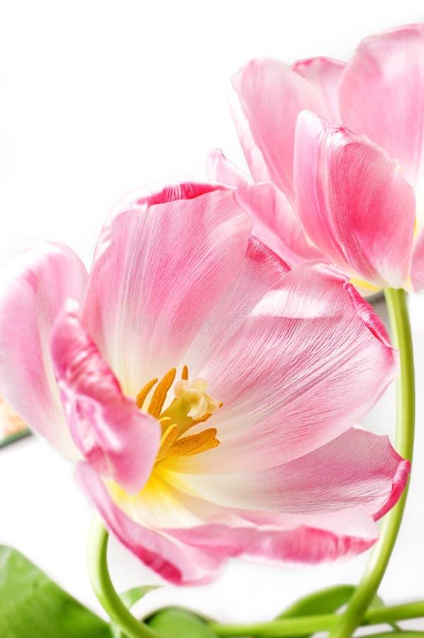 över vita rosa tilips fotografering för bildbyråer