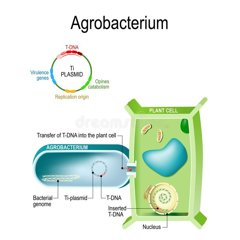 Överföring av T-DNA in i växtcellen från Agrobacterium Denna bakterie är en naturlig genetisk tekniker, det kan införingen av a vektor illustrationer