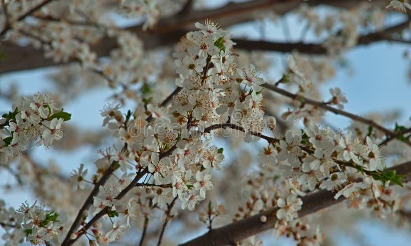 Överflöd av det körsbärsröda trädet som blommar blommor på vårtid arkivbilder