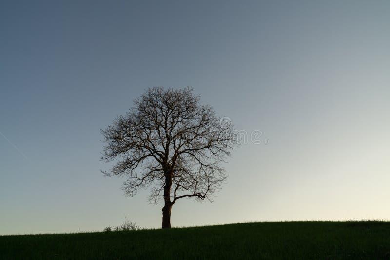 Övergett valnötträd på äng arkivbild