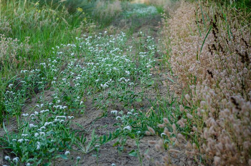Övergiven fältväg som är bevuxen med vita lösa blommor Torra bruna örter på sidlinjerna royaltyfri fotografi