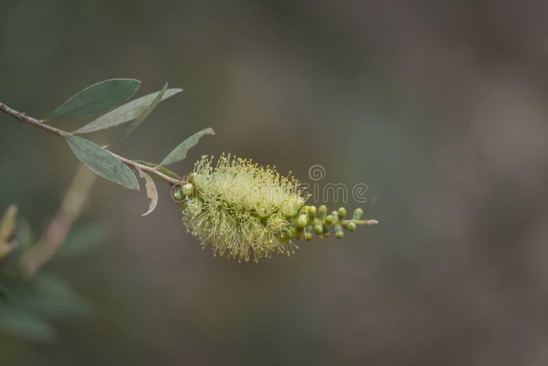 Överkänslig sikt över en naturlig borstblomma i Tasmania Australien arkivfoton