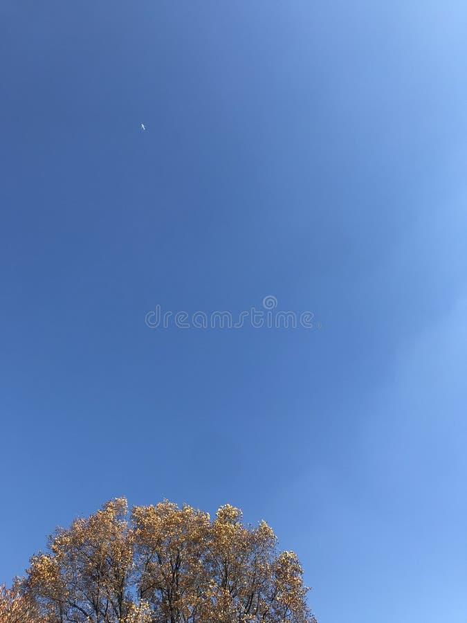 Överkant av det gula ginkgoträdet och mycket liten vit prick av flygplanet upp i ljus blå himmel fotografering för bildbyråer