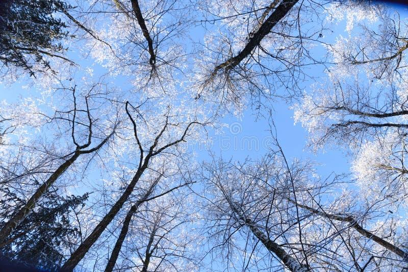 Överkant av träden som täckas i snö royaltyfria bilder