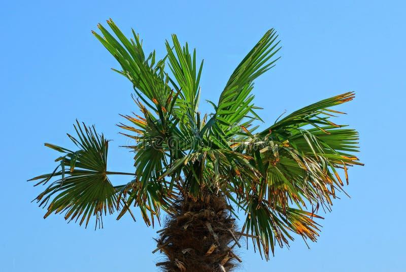 Överkanten av en stor palmträd med gräsplan förgrena sig och sidor mot himlen royaltyfria foton