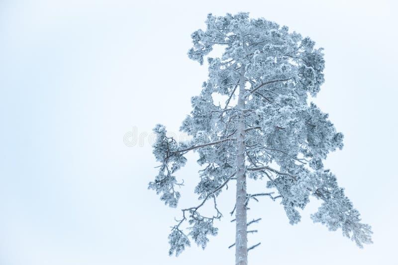Överkanten av ett enormt sörjer trädet i snön royaltyfri foto