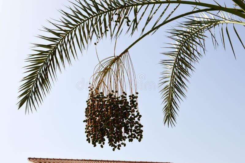 Överkanten av ett stort tropiskt exotiskt högt datum gömma i handflatan med stora gröna sidor och att växa dingla grönt omoget fö royaltyfri bild
