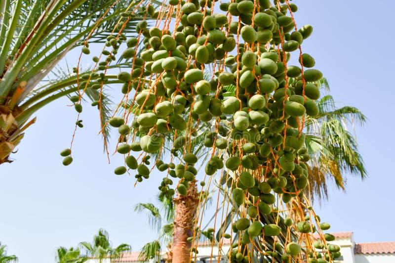 Överkanten av ett stort tropiskt exotiskt högt datum gömma i handflatan med stora gröna sidor och att växa dingla grönt omoget fö royaltyfria foton