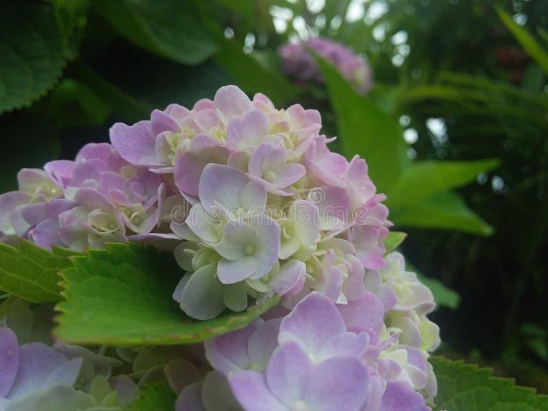 Överraska blomman någonsin arkivbilder