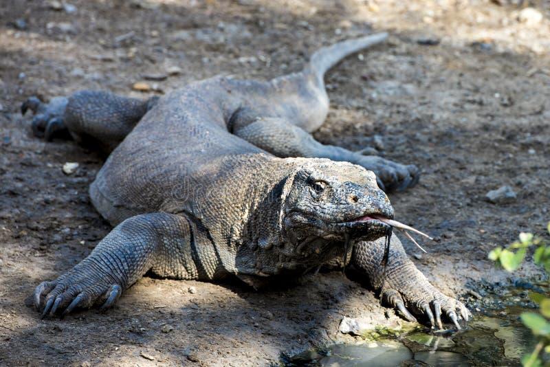 Överraska! Den Komodo draken kommer över royaltyfri foto