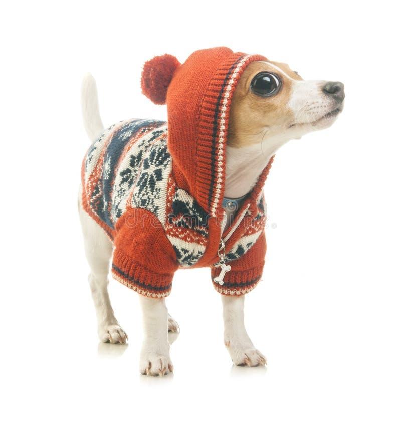 Överraskning roliga Jack Russell Terrier royaltyfria foton