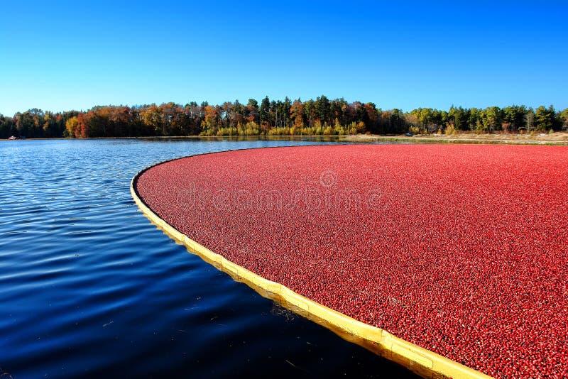 Översvämmad Cranberrymyr under skörd i New Jersey royaltyfri foto