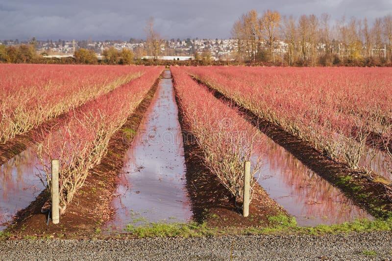 Översvämmade Berry Field royaltyfri bild