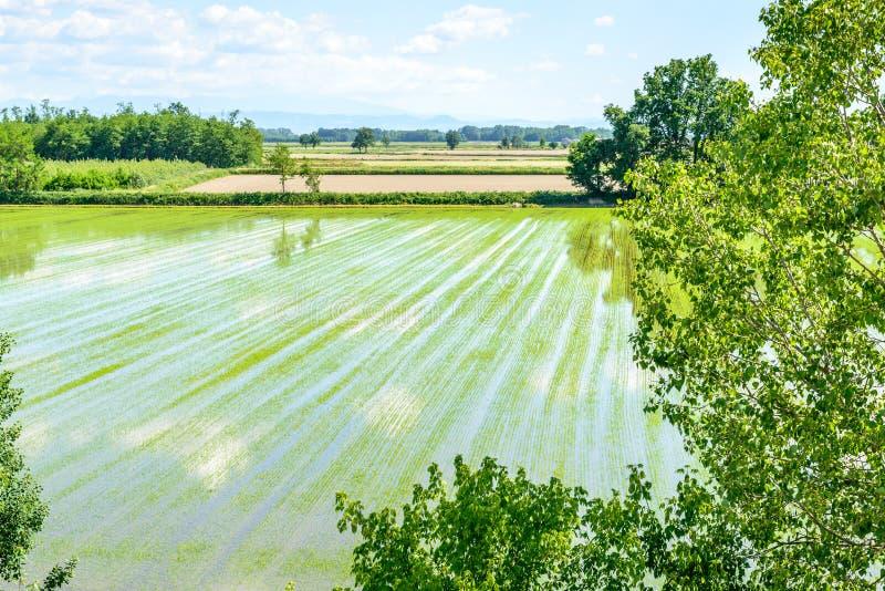 Översvämmade risfält med växter (Italien) royaltyfri foto