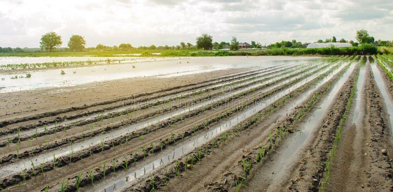 Översvämmat fält som ett resultat av en naturkatastrof Tung nederbörd och översvämning Skada till jordbruk Borttappad skördjordbr royaltyfri foto