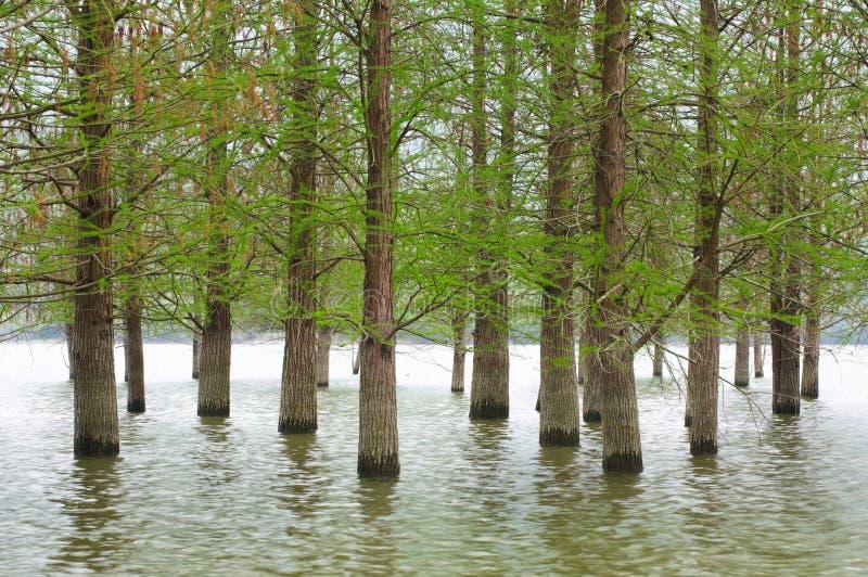 Översvämmat trädlandskap på vår slätt vatten royaltyfria foton