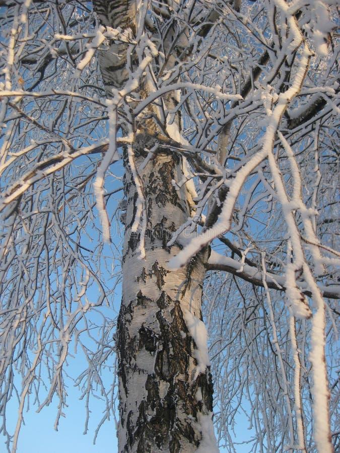 Övervintra den vita stammen av en björk Björkfilialer som täckas med frost mot den blåa himlen royaltyfria foton