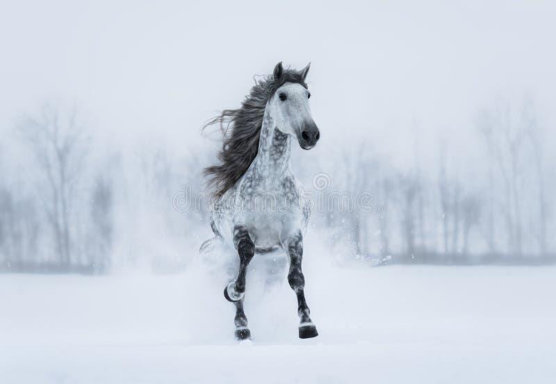 Övervintra det mulna landskapet med den snabbt växande gråa lång-maned hästen fotografering för bildbyråer