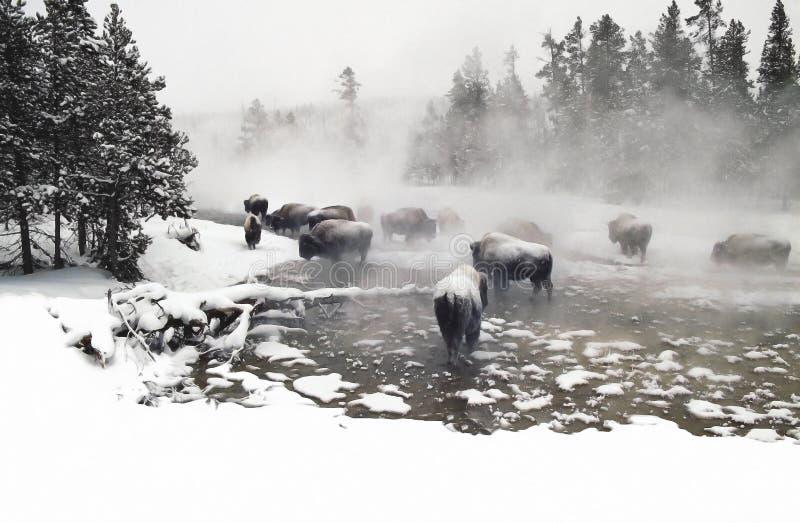 övervintra för bison royaltyfri fotografi