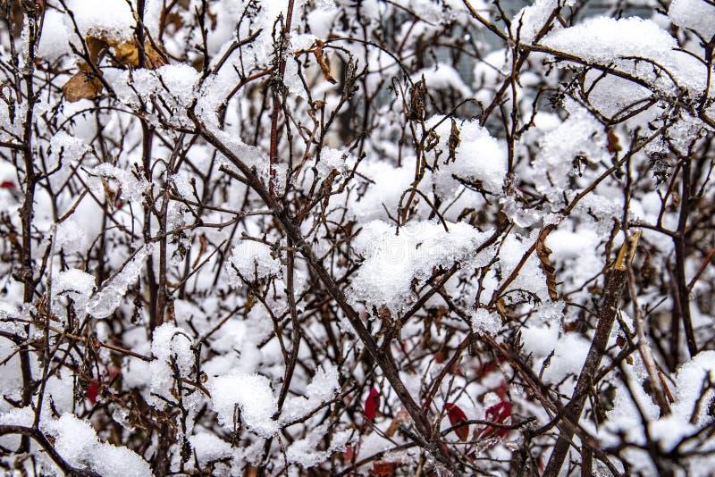 Övervintra först snö på buskar royaltyfria foton