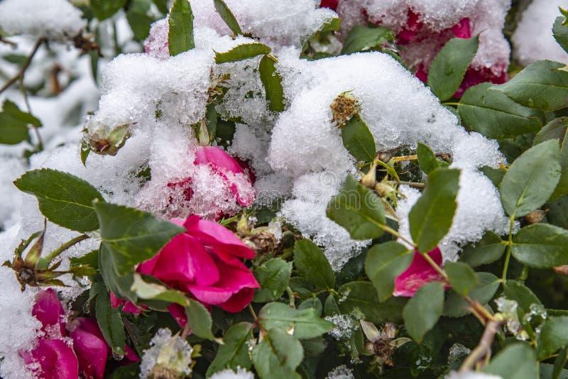 Övervintra först snö på den rosa busken arkivfoton