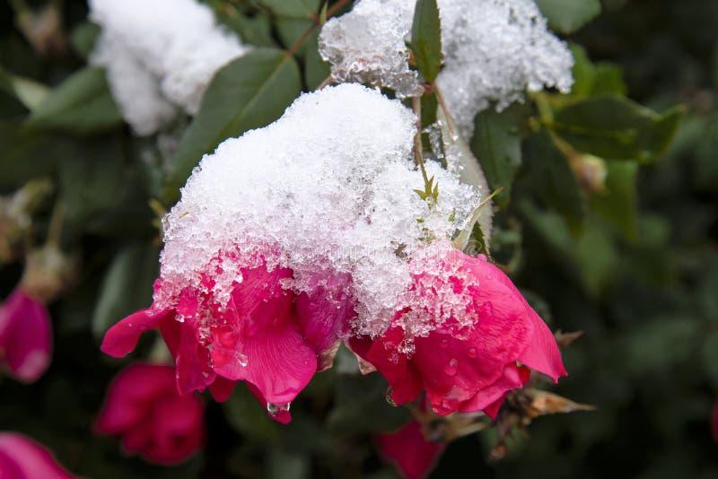Övervintra först snö på den rosa busken royaltyfri foto