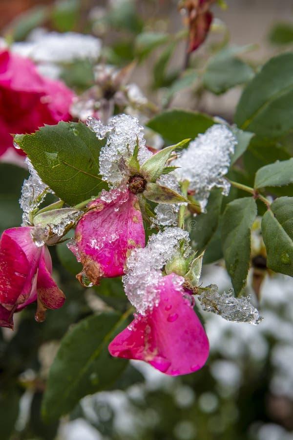Övervintra först snö på den rosa busken fotografering för bildbyråer
