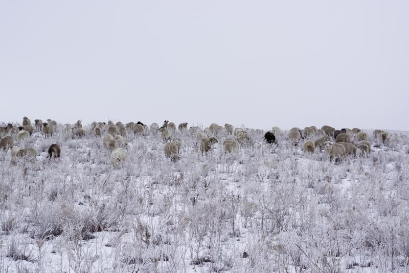 övervintra Flocken av får betar i vintern royaltyfria bilder