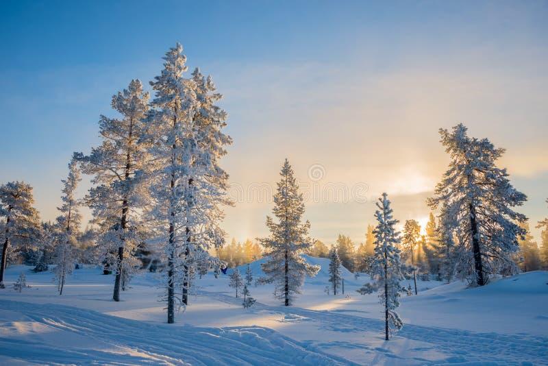 Övervintra landskapet, frostiga träd i snöig skog på soluppgång i Lapland Finland royaltyfria bilder