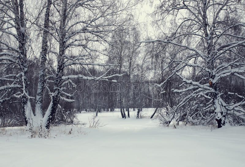 Övervintra landskapet med en björkskog efter snöfall fotografering för bildbyråer