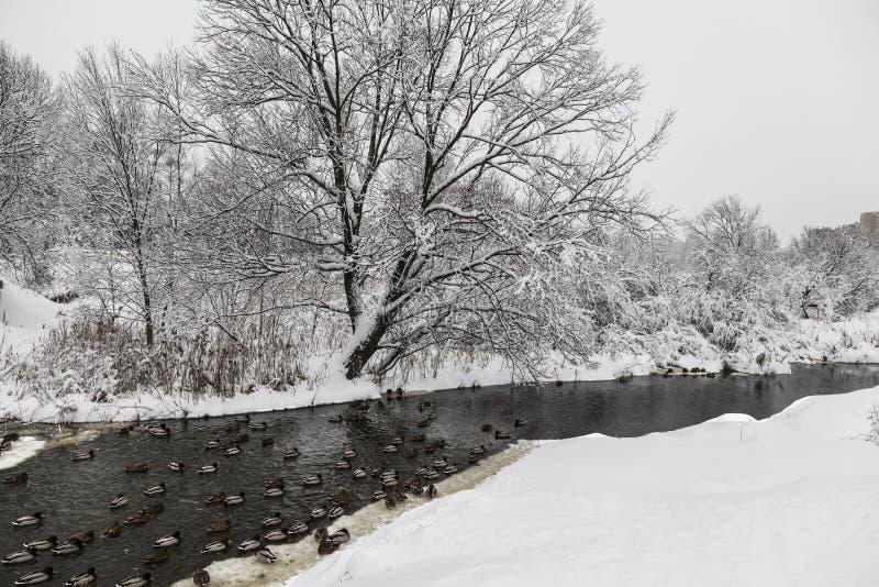 Övervintra landskapet med en djupfryst flod som svävar änder och snö-täckte träd royaltyfri fotografi