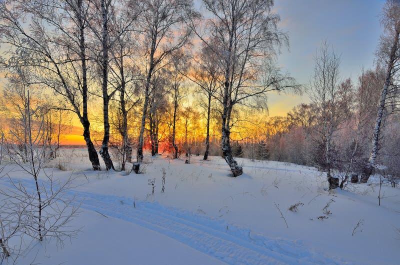 Övervintra landskapet med röd solnedgång i en snöig björkskog royaltyfria foton