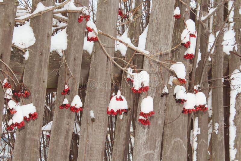 Övervintra mer berrier hänga för snö på ett gammalt trästaket fotografering för bildbyråer