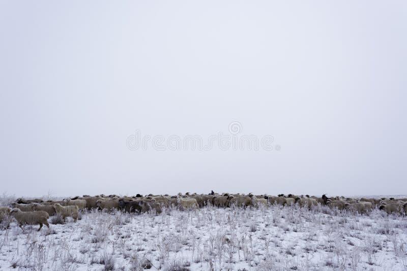 övervintra minimalism Monokrom grå himmel Herde med en flock Nomad- hushåll Kasakhstan arkivbild