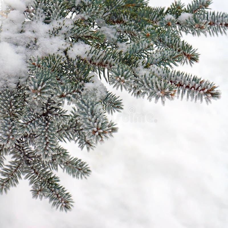 Övervintra naturen, granträd i snöfrost royaltyfri bild