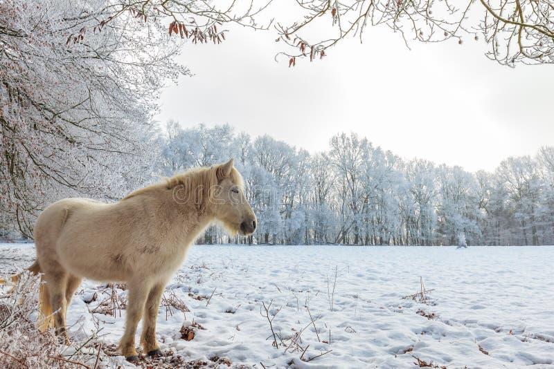 Övervintra platsen med den snö- och vitKonik hästen på den holländska Veluwen arkivbild
