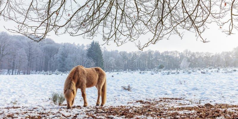 Övervintra platsen med snö och bryna den Konik hästen på den holländska Veluwen royaltyfria foton