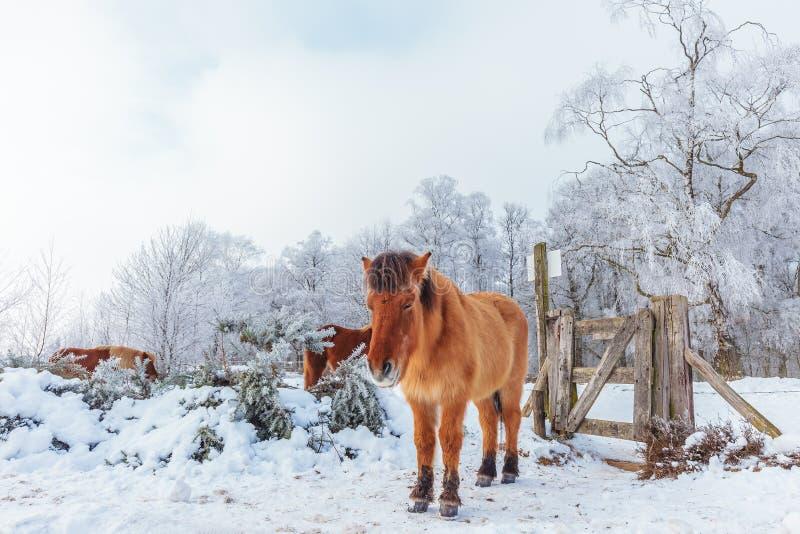 Övervintra platsen med snö och bryna Konik hästar på den holländska Veluwen royaltyfria bilder