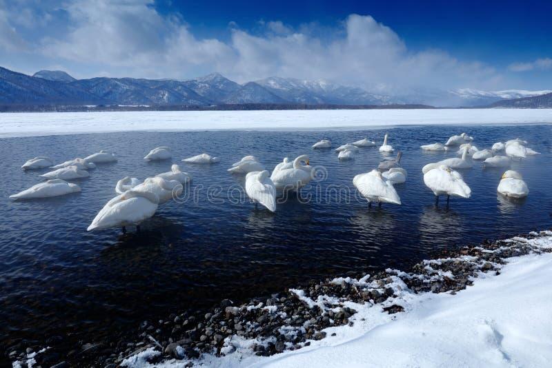 Övervintra platsen med snö och is i sjön, det dimmiga berget i bakgrunden, Hokkaido, Japan Bred djurlivplats med svanar vem arkivfoto
