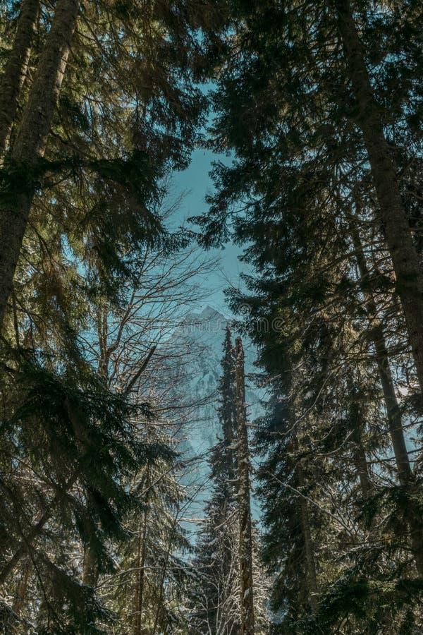 Övervintra skogen av den Karachaevo-Cherkesskaya republiken, Dombai, träd, granen, himmel, berg, ändlöst, blått, magiskt som är m royaltyfria foton
