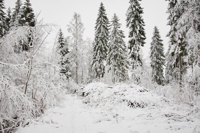 Övervintra skogen i naturligt snöig landskap i mulen dag fotografering för bildbyråer