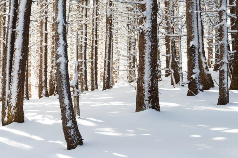 Övervintra skogen med magiskt ljus, den vintriga underland royaltyfri bild
