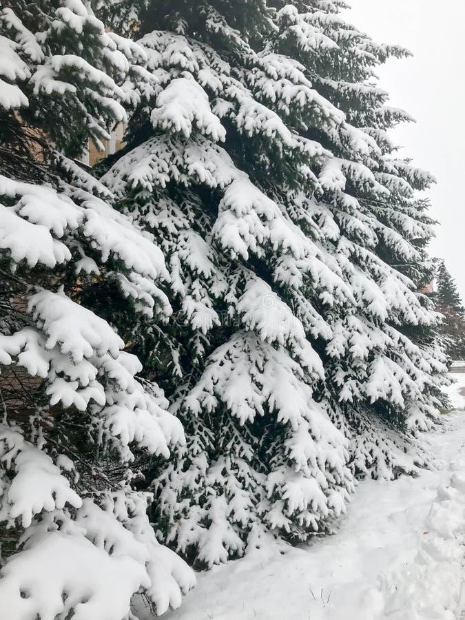 Övervintra textur med julgranar med festligt dolt för filialer med ett tjockt lager av vit kall skinande fluffig snö Bakgrund fotografering för bildbyråer
